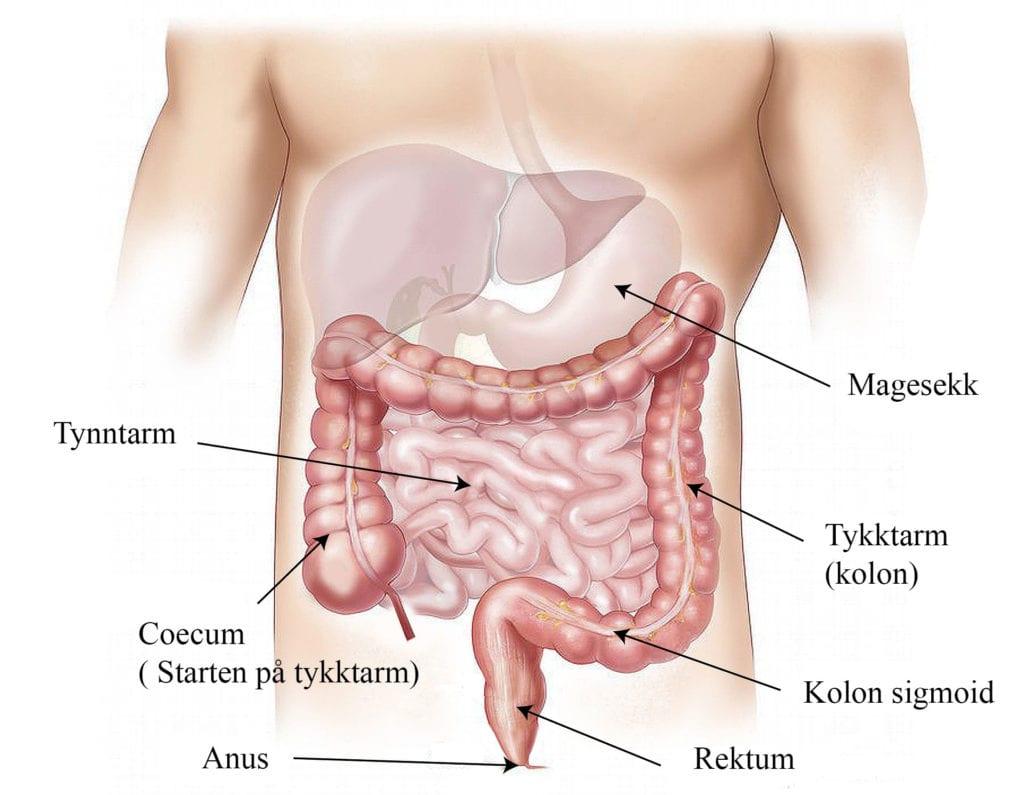 Bilde som viser oversikt over magens anatomiske strukturer