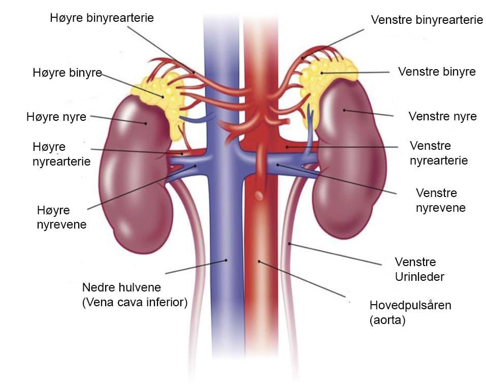 Nyrenes anatomi