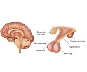 Bildet viser hypofysens anatomi.